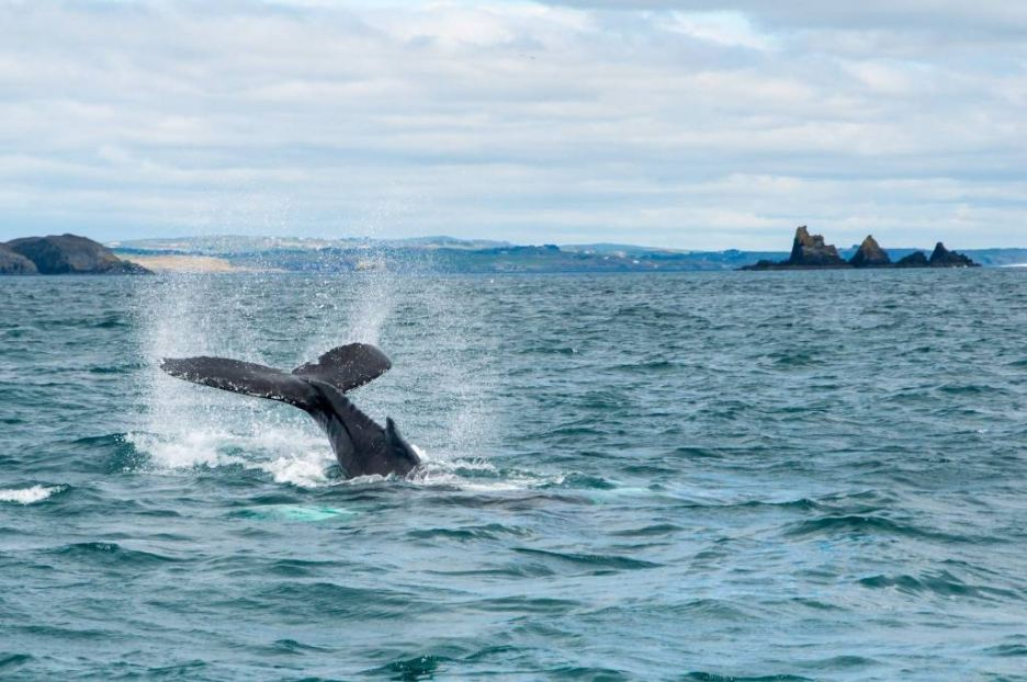 Humpback Whales are regular visitors to Ireland's Wild South Coast