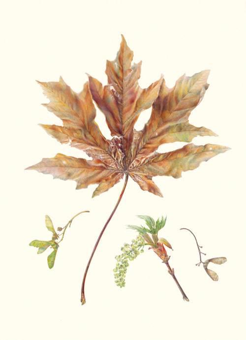 ©2017 Jean Emmons, Acer macrophyllum, Bigleaf Maple