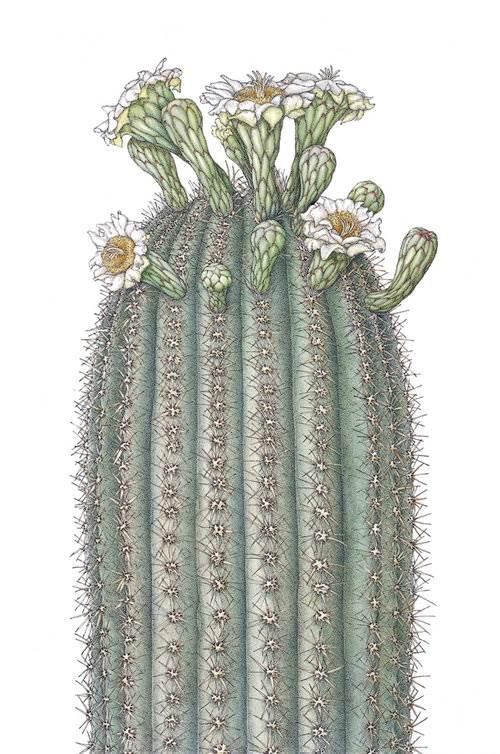 ©2017 Joan McGann, Carnegiea gigantea, Saguaro Cactus