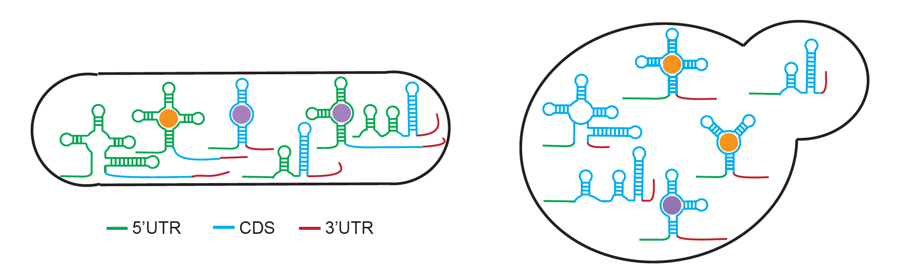 RNA sensors graphic
