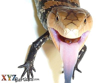 Baby Irian Jaya Blue Tongue Skink