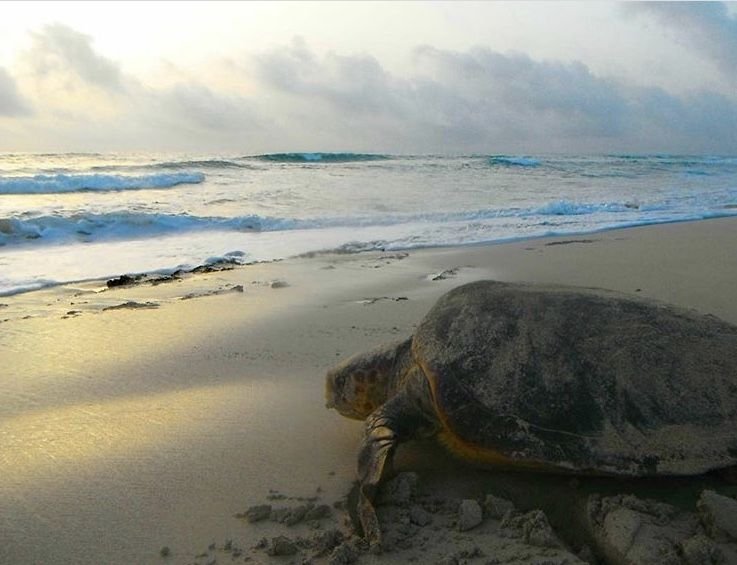 New legislation expands protection for Loggerhead sea turtle in Cape Verde