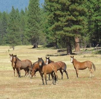Family of native-species wild horses grazed-in a fire break in remote wilderness