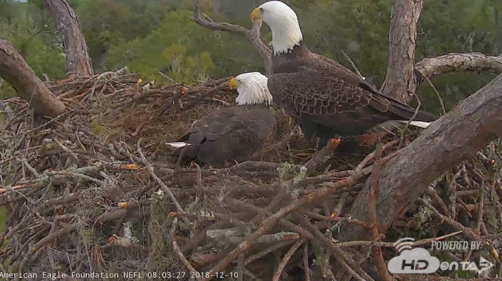Romeo & Juliet, Live NEFL Bald Eagle Nest Cams