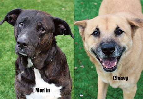 Rescue dogs Merlin and Chewy need new homes for the holidays