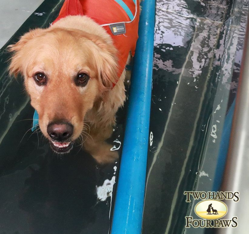 A Golden Retriever in One of Three Water Treadmills at Two Hands Four Paws