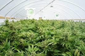 Aurora Cannabis Inc. - One to Watch