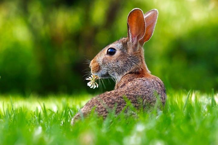 Bunny on lawn 03 08 17