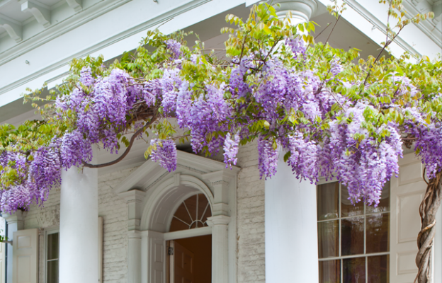 When Morven's 100-plus year old Wisteria begins blooming-time for Morven in May!