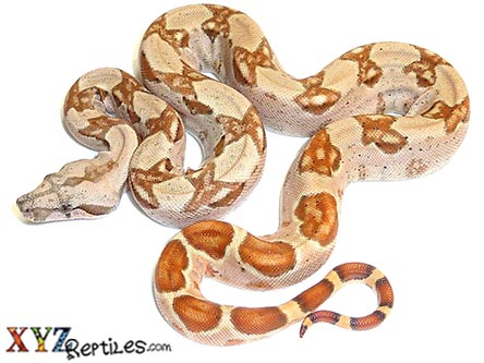 baby hypo Columbian boa constrictor for sale 1
