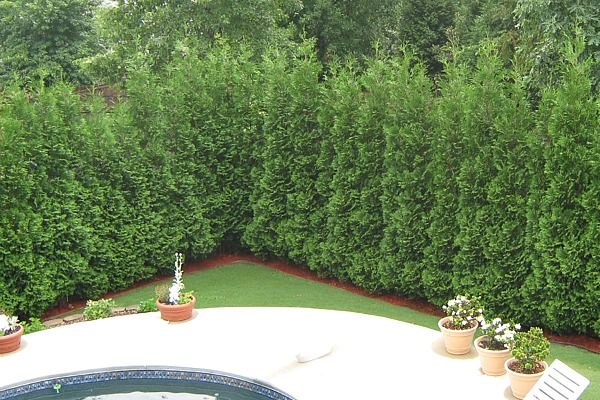 Thuja American Pillar Fast Growing Privacy Hedge