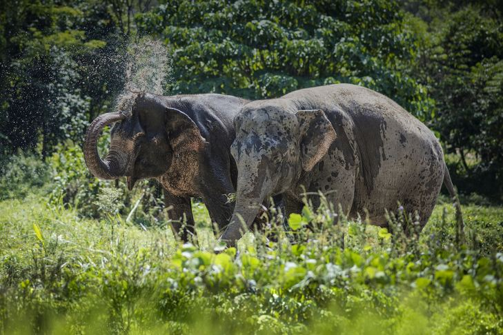 Rescued elephants at Phuket Elephant Sanctuary roam and bathe freely