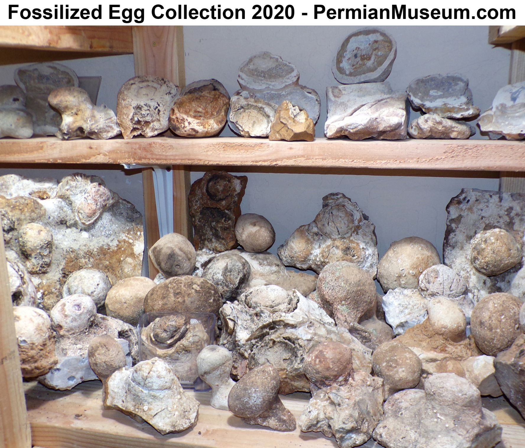 Fossilized Egg Collection 2020 - PermianMuseum.com