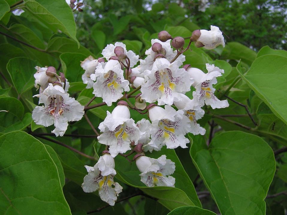 Morven's Historic Catalpa Tree saplings offered