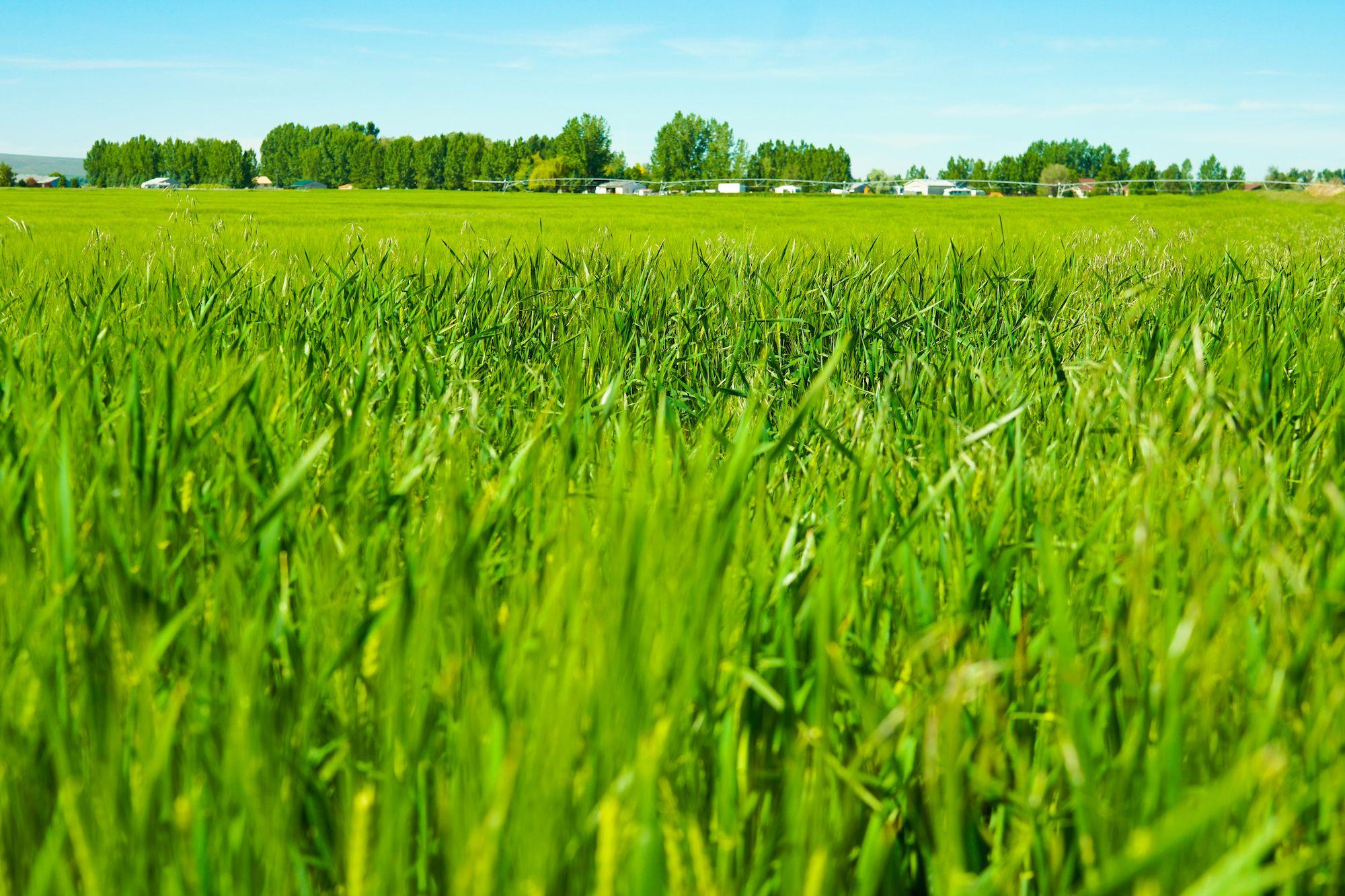 Growing Barley Field