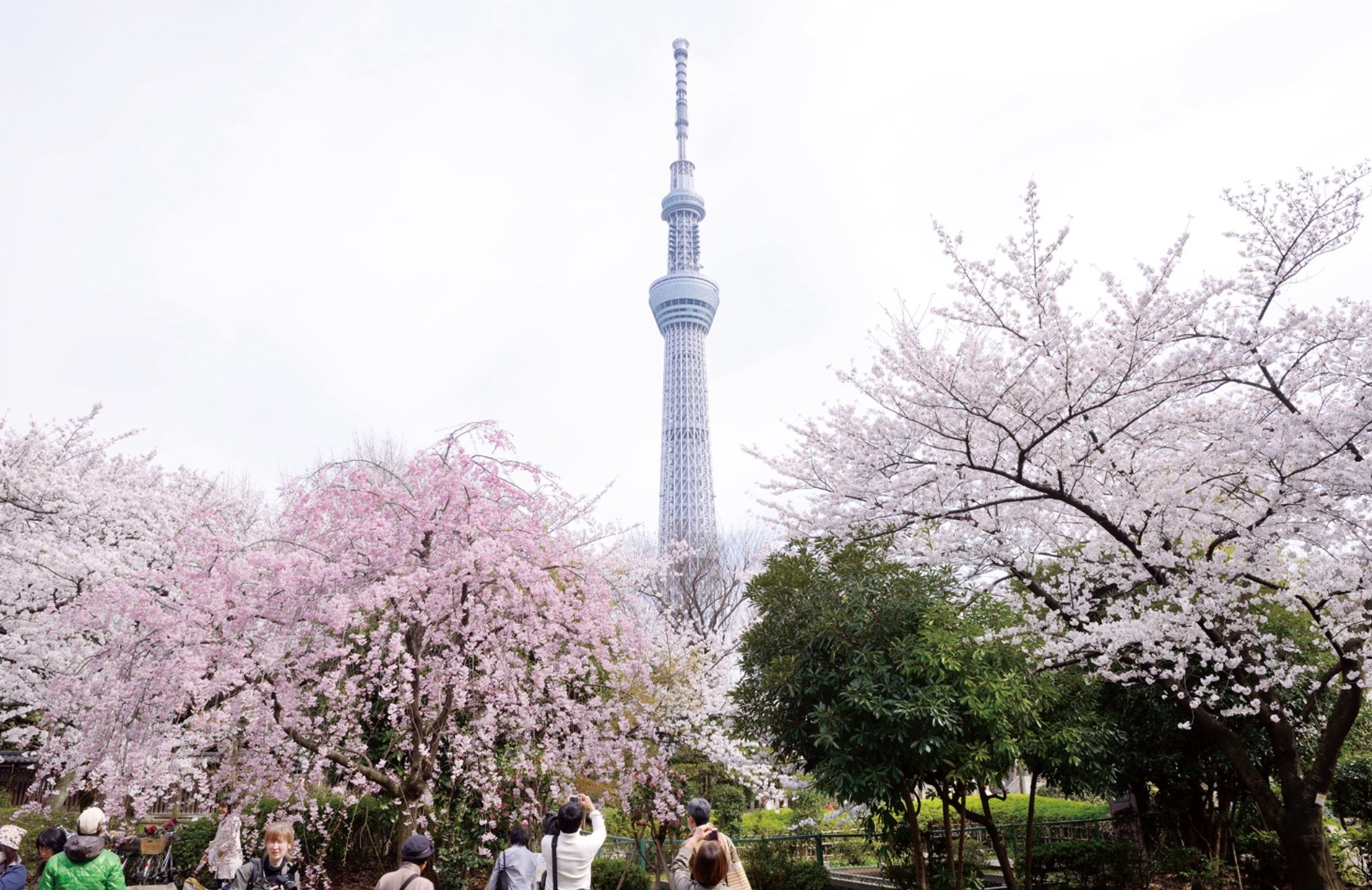 Snapping Photos Of Skytree Behind Cherry Trees