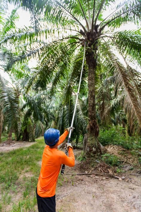 Harvesting Organic Palmfruit Bunches